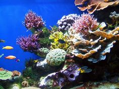 Saltwater tank coral