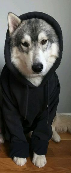 borisandtasha: I promise I will never ever poop on the floor ever - DOGS Cute Baby Animals, Animals And Pets, Funny Animals, Cute Puppies, Cute Dogs, Dogs And Puppies, Wolf Puppies, Huskies Puppies, Beautiful Dogs