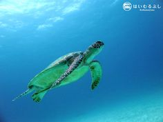 気持ちの良い天気が続いている八重山諸島・小浜島から「ハイサイ!」 きっと海中でもウミガメが悠々と青い世界を泳いでいると思います。