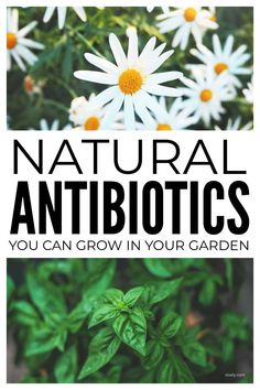 Natural antibiotics you can grow in your herb garden for simple DIY homemade herbal remedies for minor ailments including sinus, tooth, UTI infections and more. #naturalantibiotics #naturalremedies #herbgarden #herbalremedies