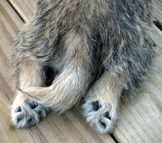 Cairn terrier feet :) -  Cairns are notorious for laying stretched out.