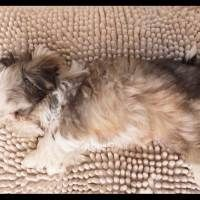 One of our first Shih Tzu's! He is the Stud among all Studs! And Stunning Gorgeous! Blake!! Come Meet Him at http://www.ashihtzu4u.com/our-shih-tzus/daddies/blake