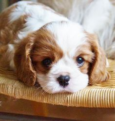 Cavalier King Charles Spaniel – Graceful and Affectionate Cavalier King Charles, King Charles Dog, King Charles Spaniel, Spaniel Puppies, Baby Puppies, Cute Puppies, Cute Dogs, Cute Baby Animals, Mans Best Friend