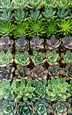 Amazon.com : Stunning Succulent Rosettes from Shop Succulents Licensed Nursery (20) : Patio, Lawn & Garden