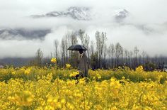 Field Day Field Day A man holds an umbrella as he walks through a mustard field during a rainy day on the outskirts of Srinagar, in Indian-controlled Kashmir. (AP Photo/Mukhtar Khan)