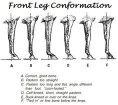 Front Leg Conformation