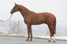 Alfas Arnt, a Norwegian Warmblood (Norsk Varmblod, NV) stallion. As with almost all warmbloods, NV is not so much of a breed but a registry or a horse population.   The association for riding horses in Norway was founded in 1908. The first warmbloods were imported from Denmark and Sweden, but also from Germany and other European countries. The goal is to have excellent sport horses with faultless conformation and movements.