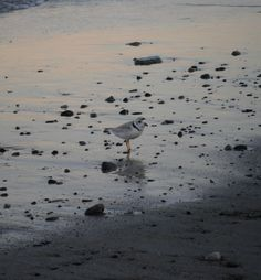 Piping Plover in NH