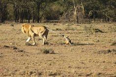Photos du journal - Mara Lion Project