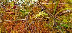 Hypnum jutlandicum moss lying on a carpet of Sphagnum bog moss and leafy liverwort Mylia taylori, with pale lichen Cladonia impexa (crottle) at the top. Saw Series, Environmental Art, Image Collection, Photo Book, Scotland, My Photos, Carpet, Fine Art, Plants