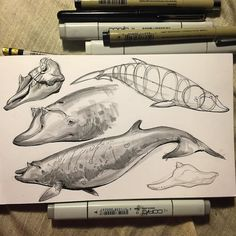 regram @jonnadon1 Beaked whale study before bed #inktober #sketch #sketchbook #cottonwoodarts #whale #beakedwhale #animal #animaldrawing #jonnadon1 #jonathankuo