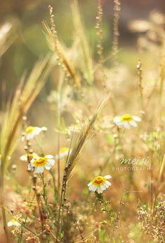 dorado campo en primavera