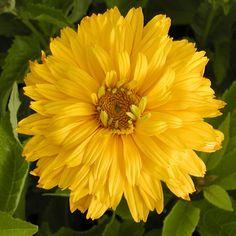 HELIOPSIS helianthoides 'Goldgefieder' (Héliopside) : Plante robuste, florifère, de culture facile en sol ordinaire. Supporte la sécheresse. Très grandes fleurs doubles jaune orangé, puis jaune canari. Cœur orangé.
