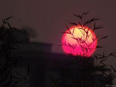 Sol rosa, com folhagens.