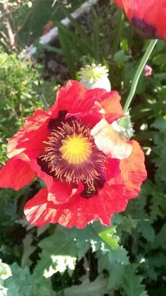 Why we love spring.our poppies starting to bloom Our Love, Poppies, Bloom, Gardens, Spring, Plants, Planters, Tuin, Plant