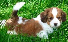 Cheerful, good natured, friendly, quiet, well-behaved, and alert; those are terms that are used to describe the Kooikerhondje. Depending on their domestic environment, they are kind, happy and lively. They are also intelligent, attentive and more than willing to please their owner. They adapt to situations quickly, changing their behavior from quiet to lively when the situation allows them to be.