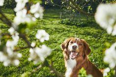 What is a Nova Scotia Duck Tolling Retriever Rare Dogs, Rare Dog Breeds, Curly Coated Retriever, Nova Scotia Duck Tolling Retriever, Golden Labrador, Family Dogs, Dog Friends, Dog Love, Pet Dogs