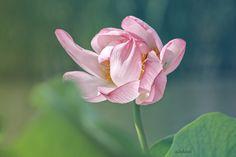 Ulchiva Macro Photo Flower Nature Spring Summer Color White Green Love Postcard Lotos