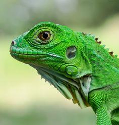 Just close ........ green Lizard