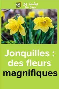 Jonquilles: des fleurs magnifiques