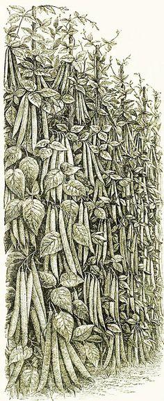 Suttons French pole beans illustration, 1895. #Victorian #garden #vegetables #illustrations