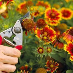 Most perennial flowers look best if you remove faded flowers. This is called deadheading. As a bonus, many perennials will push out another cycle of blooms after deadheading. If your perennial flowers become too tall and leggy, or flop open in the middle, try shearing them back to 6-12 inches above the ground. This type of haircut causes them to branch and become stockier./
