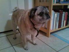 Anna: Pug, Dog; East Rutherford, NJ