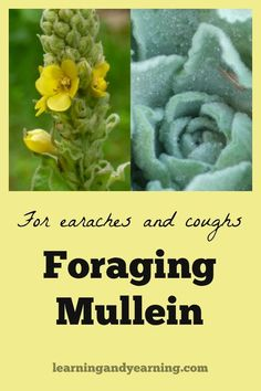 Common mullein is a tall biennial that is found throughout most of N. America. Learn to forage mullein for earaches and coughs for your home medicine cabinet.