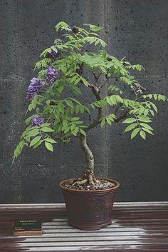 """Glycine tree """"Wisteria floribunda"""""""