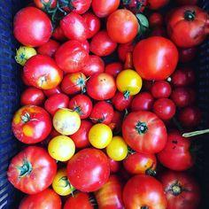 This morning pick of organic  TMATOES ! #yum #organic #leeandmarias #alwaysfresh #localorganictomatoes #veggielove