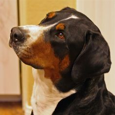 Greater Swiss Mountain Dog #78 - Greater Swiss Mountain Dog AKC Popularity - 2015: 78 AKC Popularity - 2014: 80 Average Life Expectancy: 11 years Puppy Price: $600 Breed Group: Working Nickname(s): Great Swiss Mountain Dog, Swissy