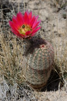 Texas, Usa, Nature, Plants, Pictures, Cactus, Photos, Flora, Nature Illustration
