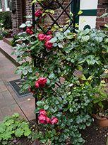 Rankgitter Beekman mit Rose Florentina Detail