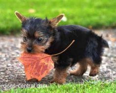 Yorkie, I want one!