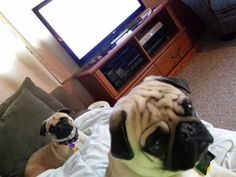 therapy pugs