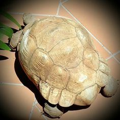 My pet in Johannesburg Turtle, Pets, Places, Animals, Animals And Pets, Animales, Tortoise, Animaux, Tortoise Turtle