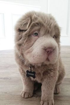 Meet Tonkey The Four Month Old Bear Coat Shar Pei Puppy Who Looks