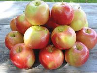 September Wonder® Fuji Apple from Stark Bro's