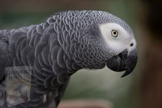 Timneh African Grey, African Grey Parrot, Parrot Toys, Parrot Bird, Parrot Facts, Parakeet Cage, Talking Parrots, Most Beautiful Birds, Facts For Kids