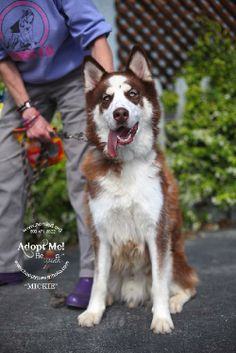 Meet Mickie a Petfinder adoptable Alaskan Malamute Dog | Walnut Creek, CA | Please note we do NOT adopt to homes with small animals.Also Norsled does not adopt outside the...