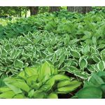 We've paired our popular Emerald Isle Hostas with the native Lady Fern, Athyrium filix-femina. They make a stunning starter garden for shade and will be drought tolerant once established.