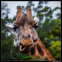 Giraffe by Geoff Trotter, via Flickr