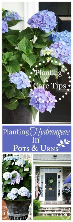 planting hydrangeas in pots and urns flower garden Hydrangea Potted, Hydrangea Care, Potted Flowers, How To Plant Hydrangea, Care Of Hydrangeas, Caring For Hydrangeas, How To Grow Hydrangeas, Sun Flowers, Hydrangea Flower