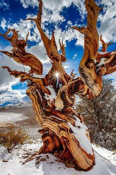 At 4,841 years old, this ancient bristlecone pine is the oldest known non-clonal organism on Earth. Located in the White Mountains of California, in Inyo National Forest.