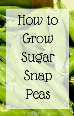 Growing Vegetables So many great tips for growing sugar snap peas in my backyard garden. I love peas and this guide is really helpful. - Growing sugar snap peas isn't hard at all. You just need the right conditions for them to thrive in. Winter Vegetables, Growing Vegetables, Vegetables Garden, Herbs Garden, Gardening For Beginners, Gardening Tips, Kitchen Gardening, Container Gardening, Growing Peas