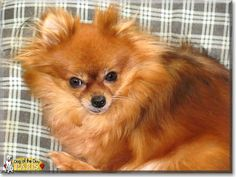 Read Paris Rene's story the Pomeranian from Rochdale, Massachusetts and see her photos at Dog of the Day http://DogoftheDay.com/archive/2014/April/25.html .