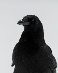 Crow in the snow. #spirit_animal