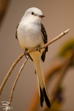 magicalnaturetour:    Split tailed by ~DeeOtter:)
