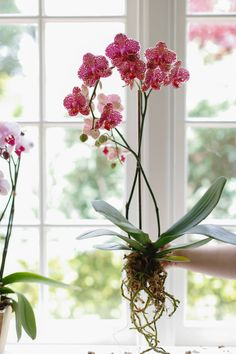 Growing Orchids Indoors: Tips On Care Of Orchid Plants Indoors Indoor orchid care is not difficult, learn how to enjoy these beauties year round. Flowers can last for months. [LEARN MORE] Indoor Orchid Care, Orchid Plant Care, Phalaenopsis Orchid Care, Indoor Orchids, Orchids Garden, Indoor Plants, Orchid Repotting, Flowers Garden, How To Plant Orchids