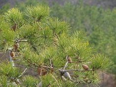 Pine trees, Pine Cones, the smell of Pine
